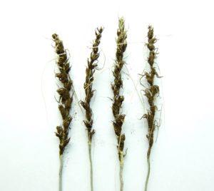 Уражений колос пшениці летючою сажкою