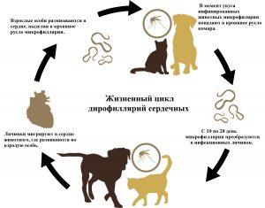 Дирофиляриоз