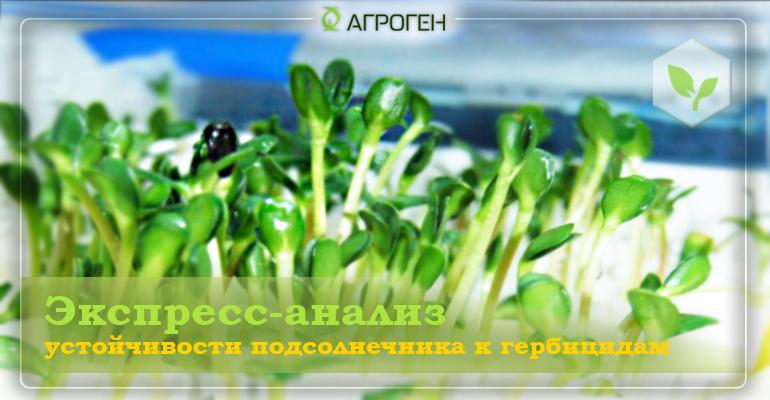 Экспресс-анализ устойчивости подсолнечника к гербицидам